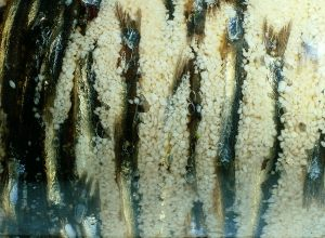 Salt-Cured Anchovies